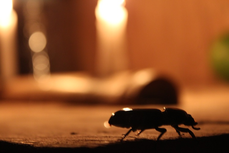 Beetle on a table