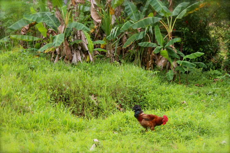 View of chicken in the jungle