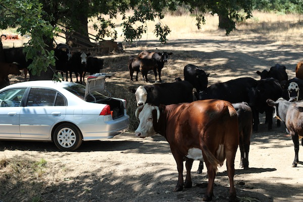 Cows and a car