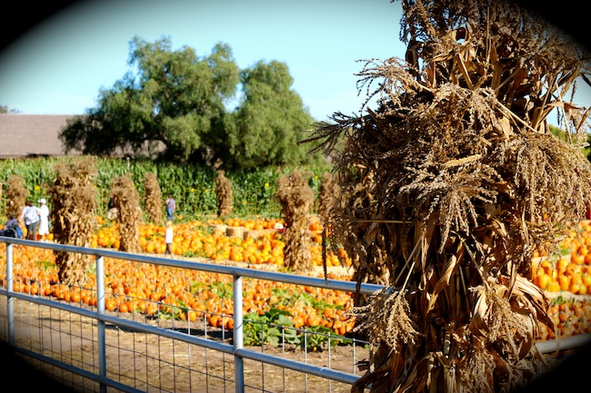 Lane Farms Pumpkin Patch Santa Barbara