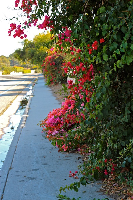 Bougainvillea in Santa Barbara