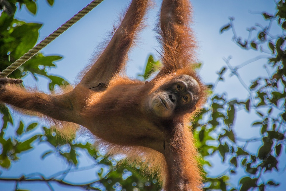 Orangutan Sepilok Sanctuary Borneo