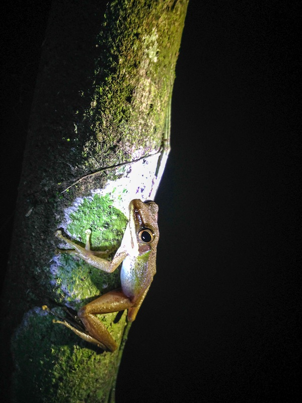Tree Frog at night in jungle Borneo
