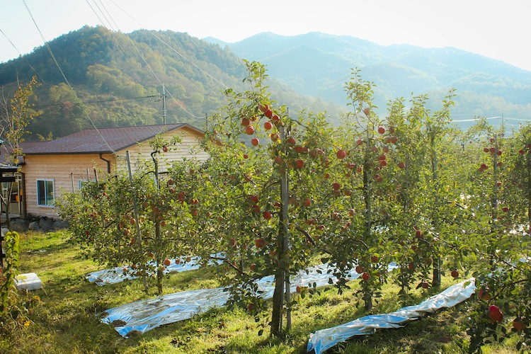 WWOOFing on apple farm in Korea