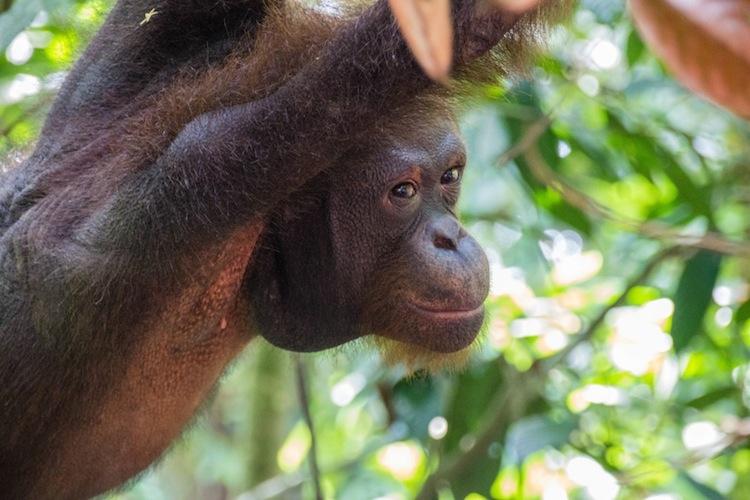 Orangutans Borneo Sepilok