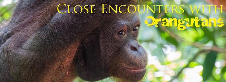 Orangutans Sepilok Orangutan Rehabilitation Center