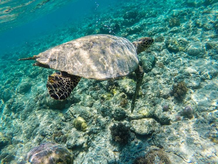 Turtle swimming in Gili islands