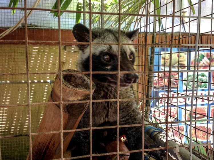 civet cat Bali's poop coffee Kopi Luwak