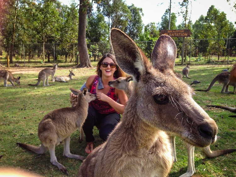 feeding kangaroos lone pine sanctuary brisbane australia