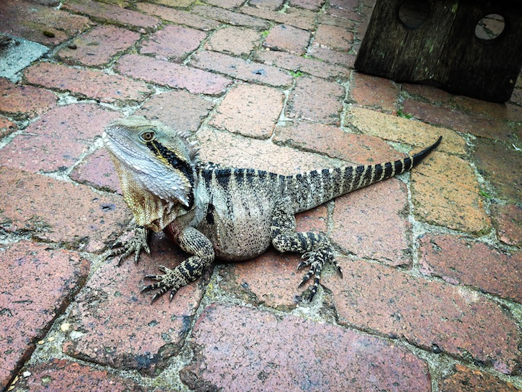 lizard in australia