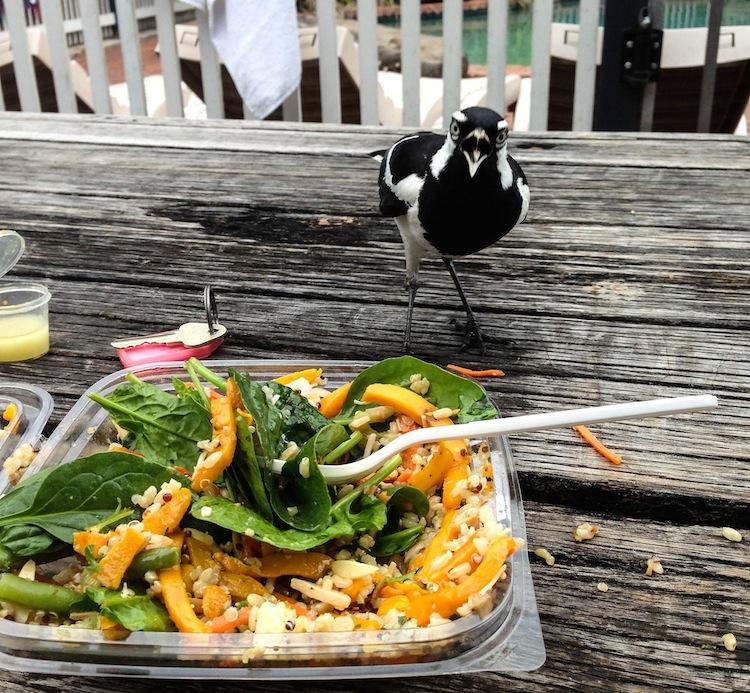 angry bird magpie australia