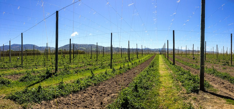 hop farm in Motueka
