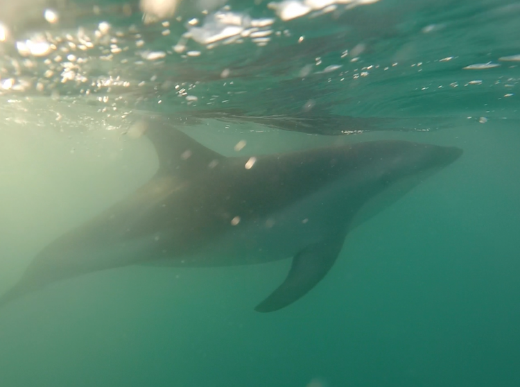 swimming with dolphins in kaikoura new zealand